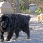 A really big Newfoundland