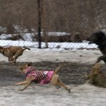 Dogs on the run