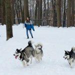 Huskies Kota, Sage, and Nuka